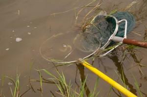 Anguille capturée par pêche électrique