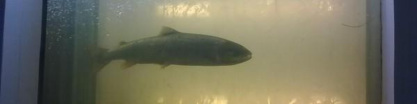 Saumon atlantique de 90 cm observé à Roanne le 03 mai 2012
