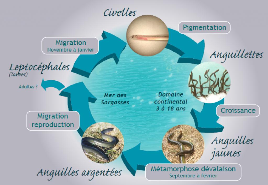 Cycle biologique l'anguille européenne (Source : LOGRAMI)