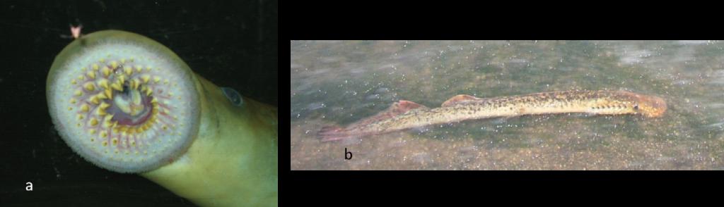 Photographies d'un disque buccal de lamproie marine (a : Bach) et d'un individu (b : Viallard)