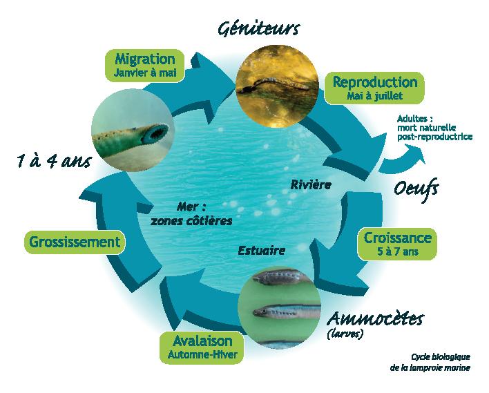 Cycle biologique de la lamproie marine (Source : LOGRAMI)