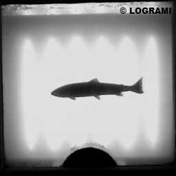 Passage d'un saumon atlantique à la station de compatge de Langeac le 22 avril 2016