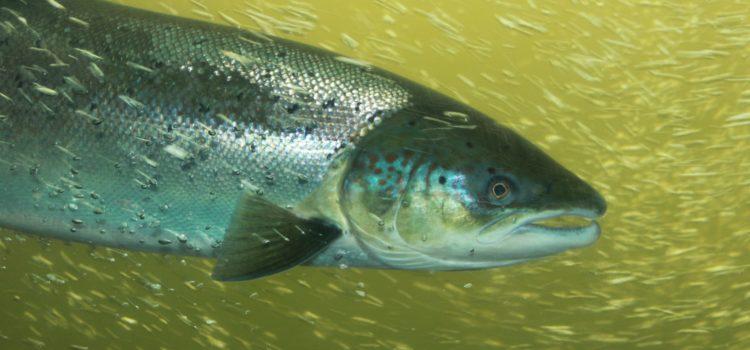 Migrations 2019 : les premiers saumons arrivent